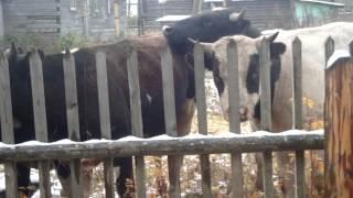 Жителей села Озел терроризируют быки