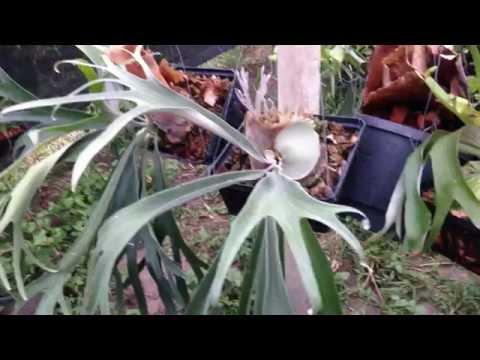 Platycerium  (Hybrid fern)