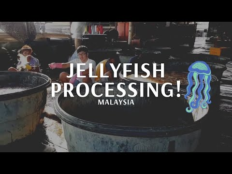 Jelly Fish Processing
