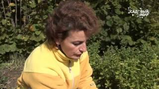 видео Айва японская: польза и вред, применение и хранение