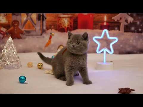Британские котята в возрасте 8 недель (Litter- К_2)