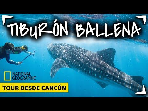 TIBURON BALLENA Tour CANCUN 🔴 NADO  GARANTIZADO ✅  ¿Holbox o Cancun? ► Cuanto mide Whale Shark Tour