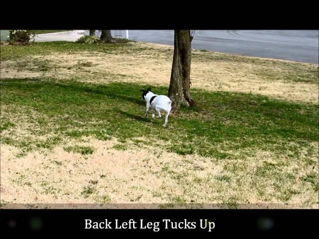 Luxating Patella Jack Russell Terrier