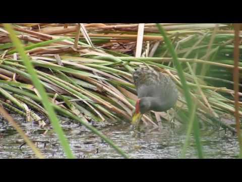 Watercock - Feeding Habit...!