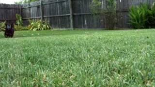 Playing Fetch With My Dachshund (weenie Dog)