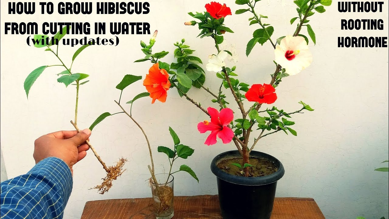 How To Grow Hibiscus From Cuttings Easiest Method Youtube