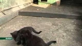 Черные котята у пятнистой пары. (Nota Bene 08.08.11)