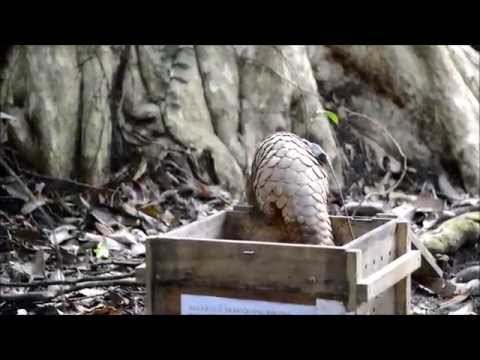 Sunda Pangolin release after rescue from illegal wildlife trade