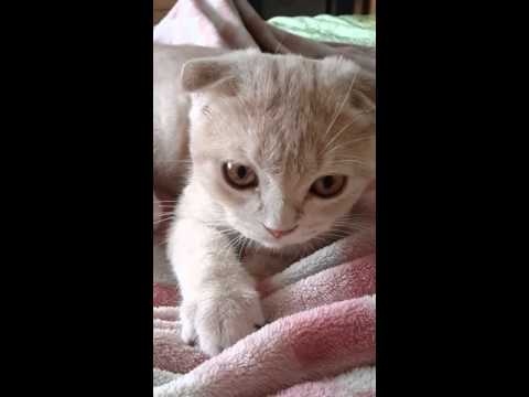 ข้าวสวยอ้อนครั้งแรก#Cats snuggle plead his first massage.#Scottish fold#Cat#Cute