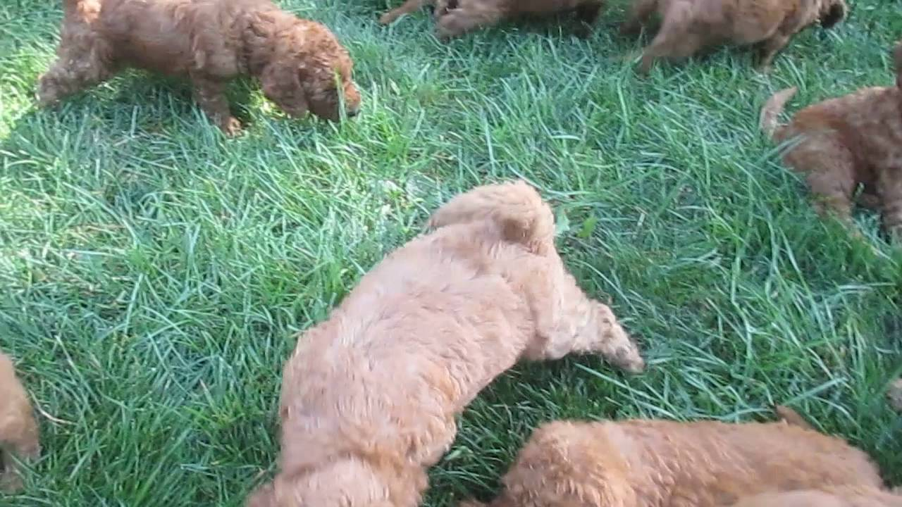 Mini Goldendoodle Puppies For Sale In Pa Youtube