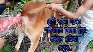 দেশী বকনাতে শাহীওয়াল সিমেন দ্বারা প্রজনন প্রক্রিয়া দেখুন Local Cow Ai by Shahiwall Semen Baki Mirza