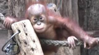 Cute Orang Utan Babys - Affen im Zoo Leipzig