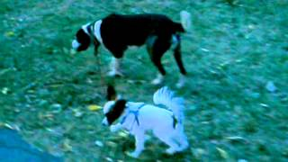 Jack the Puppy Walks Shelby the Dog Thumbnail