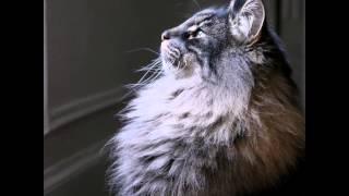 Норвежская лесная кошка (Norwegian forest cat) породы кошек( Slide show)!