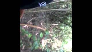 Cara menangkap biawak,dari Demak kota wali