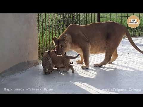 Как львица Лола