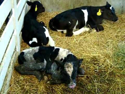 Shatto Farm - newborn calf mooing