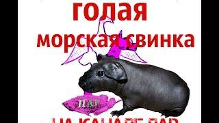 Домашние животные. Морская свинка скинни