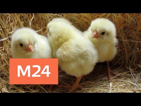 Цыплята в Грузии
