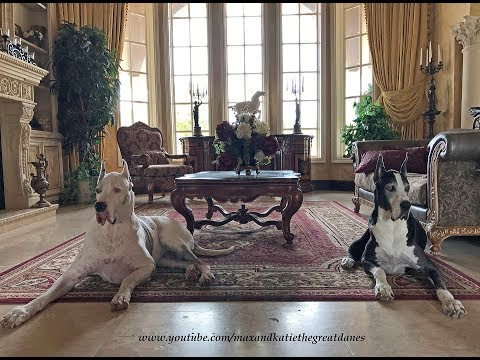 Max and Katie The Great Danes ~ The Greatest Love