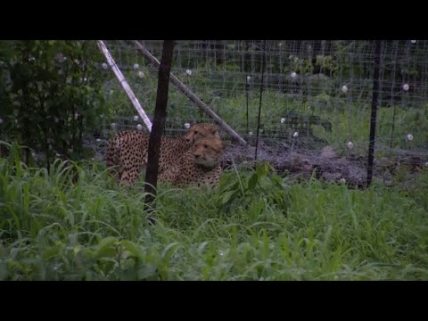Cheetahs being reintroduced to Malawi national park