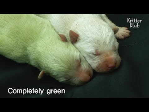 How Does This Puppy Have Green Fur?! | SBS Animal