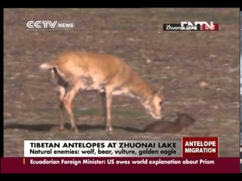 Tibetan antelopes give birth at Zhuonai Lake