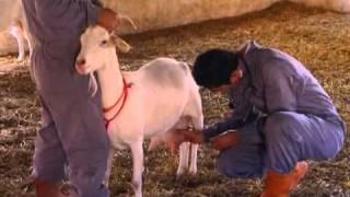 الماعز مقدمة الفيلم منتجات الألبان