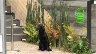 フラットコーテッドレトリバーの躾け・訓練は、仔犬の育て方にかかって...
