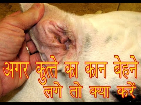 How To Cure/Treat Your Dog Ear Problem By Aman Prabhakar
