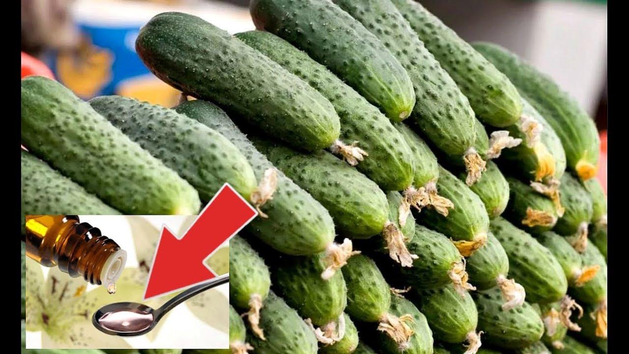 После этой аптечной подкормки огурцы растут без меры! Подкормка огурцов йодом и зеленкой!