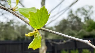 When Do Sycamore Trees Get Their Leaves?