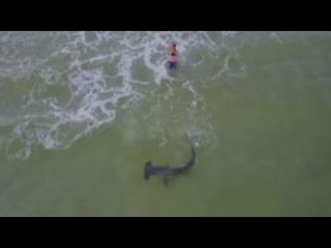 Massive hammerhead shark reeled in on Florida beach