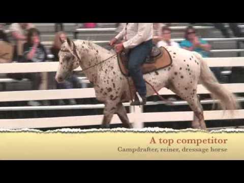 Appaloosa / Sportaloosa Stallion At Stud In NSW, Australia - Cayuse Chatta Lena
