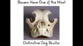 Boxer - Fun Facts From Weight Waggers