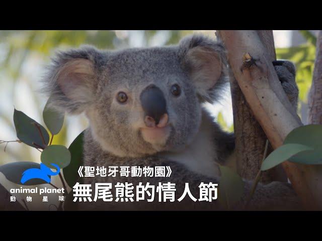 無尾熊的情人節 動物星球頻道