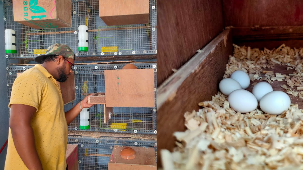 My Cockatiel Breeding Updates | தமிழில் | fancy birds chennai