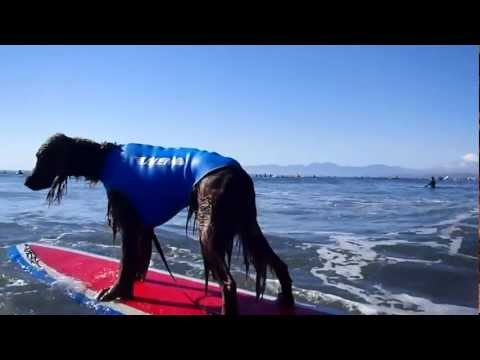Surfing Dog Irish Setter [ Pino ]20111211