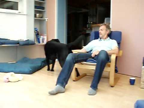 Download Very very naughty big black labrador (or badly trained owner )  stick with to the end
