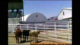 Pepper At Stockville,ks, Cattledog Trial 7- 21- 13