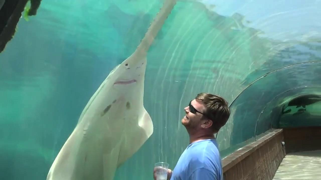 huge saw shark  bahamas  aquarium in bahamas  atlantis