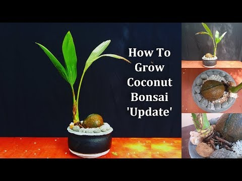 Coconut Bonsai Coconut Bonsai Update Video For Plants Lovers Must Watch Green Plants Youtube