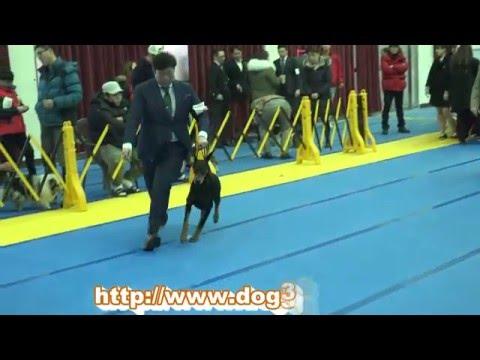 2016.02.21.KKF NAMICHEON DOG SHOW-Doberman pinscher