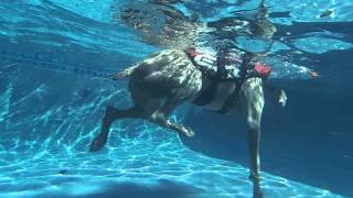 Weimaraner Jai Swimming In A Pool - Underwater View