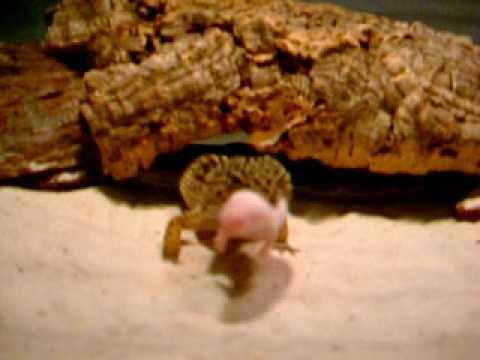 Can Geckos Eat Cat Food