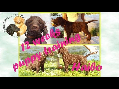 Puppy training with Curly Coated Retriever Haibo