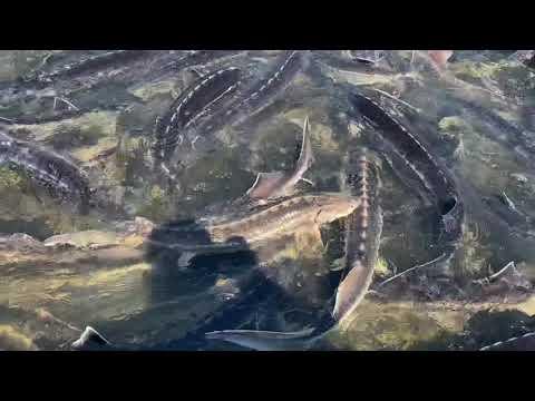 Ihmsen - Der Forellengott Forellensee Rosenweiher Der Norden macht sich Startklar!