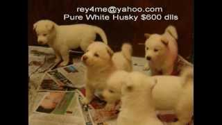 Pure White Siberian Husky Puppy Blue Eyes For Sale In San Diego
