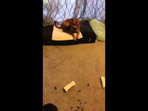 Guilty dog face