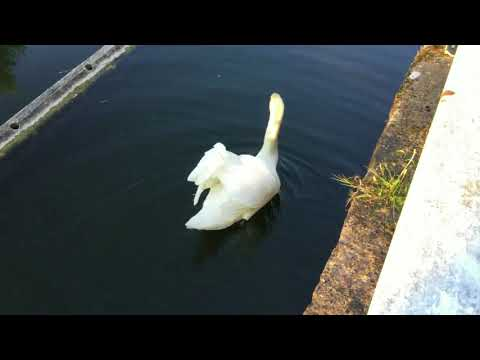 Swan Family day out on the Forth and Clyde Canal, Glasgow